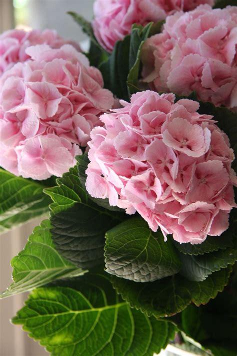 hydrangea flower pink hydrangeas flowers gardening pinterest