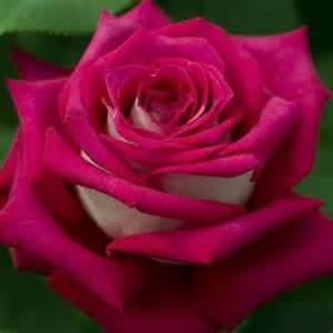 Dark Pink Single Rose