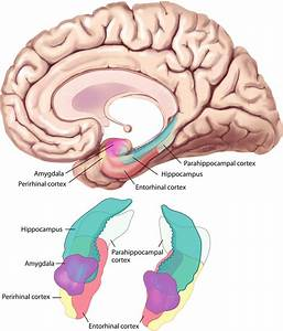 The Medial Temporal Lobe Consists Of The Hippocampal