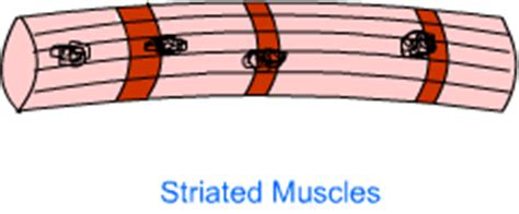 Labelled diagram of a neuron. nine science plant tissue animal tissue ncert solution