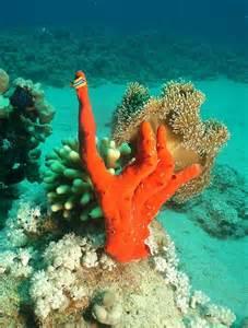 Claw Finger Sponge Coral