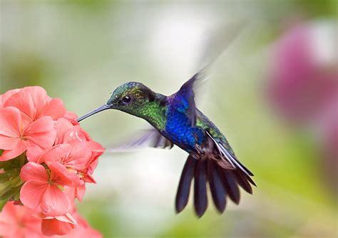 kolibri bedeutung kolibri bedeutung und bilder zum motiv desired de
