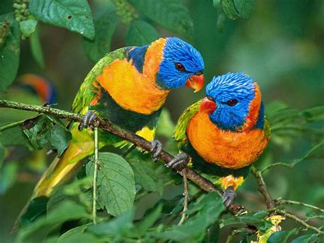 Rainbow Animal Wallpaper - rainbow lorrekeet wallpapers animals town
