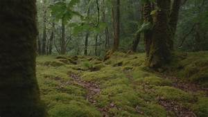 Ancient Celtic Forest Bought By Woodland Trust