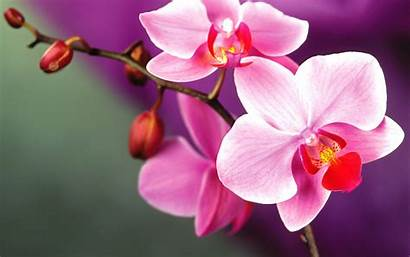 Orchid Flower Wallpapers Desktop Mobile Orchids