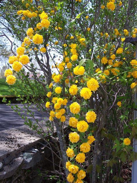 Free Yellow Climbing Flowers Stock Photo Freeimagescom