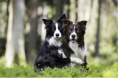 Collie Border Tapety Psy Dogs Dog Rasy