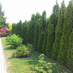 Thuja Brabant Oder Smaragd : lebensbaum thuja pflanzen janssen gmbh ~ Orissabook.com Haus und Dekorationen