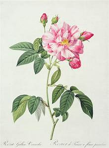 French Rose Drawing by Pierre Joseph Redoute