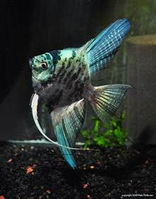 Marble Blue Angelfish Freshwater