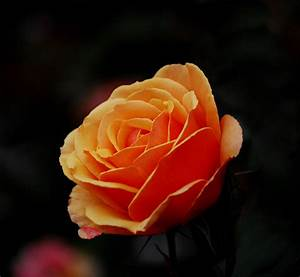 File:Orange Rose1.jpg - Wikimedia Commons