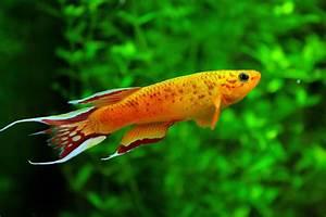 Freshwater Fish High Definition Wallpaper 18358 - Baltana