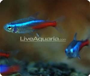 Want To Keep Jumbo Neon Tetras In Your Fish Tank Read