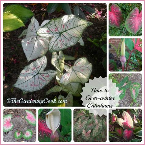 when do caladiums bloom caladium tubers overwinter them for fresh plants next spring