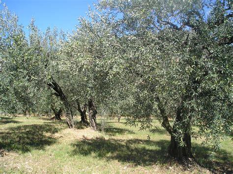 les oliviers de provence en sortant de l 233 cole