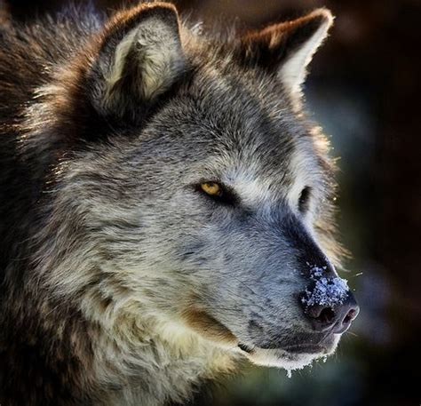 Wolf Portrait Look That Face Much Character
