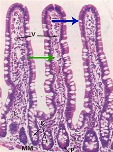 Villi Of Small Intestine  Lacteal  Goblet Cells Crypts Of