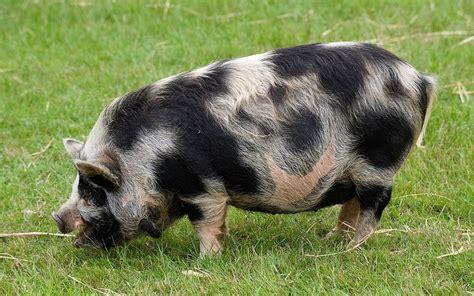kunekune pig micro pigs let loose in wild are shot telegraph