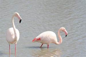 Wild Greater flamingos -- Carmargue South of France | ZooChat