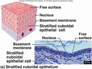 Stratified Cuboidal Epithelium - Protection Of Larger Ducts