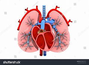Human Heart And Lungs Cross Section Stock Photo 388645414