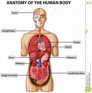 Internal Organs Of Human Body Diagram Without Labeling ...