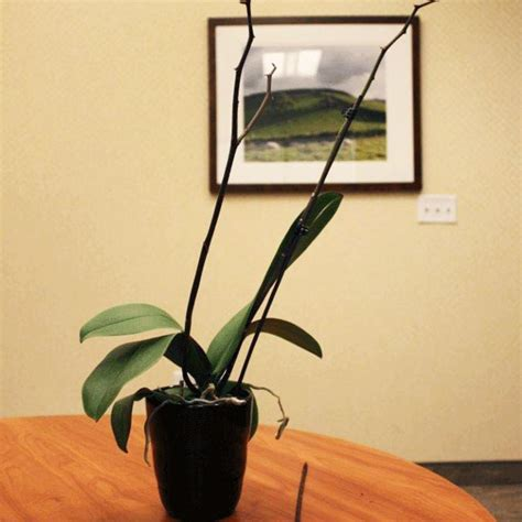 what to do when your orchid flowers fall after orchid flowers fall