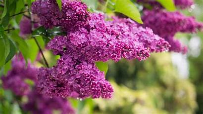 Lilac Flowers Guardado Wallpapers Superbwallpapers Desde