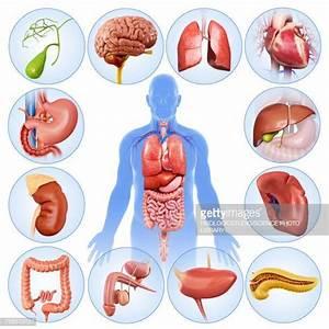 World U0026 39 S Best Human Internal Organ Stock Illustrations