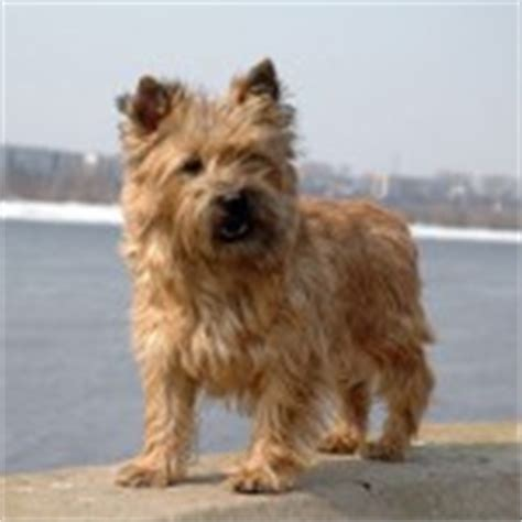 cairn terrier non shedding small dogs that don t shed a list of non shed dogs