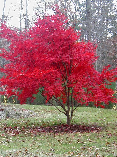 maple tree japanese japanese maple tree my little green thumb pinterest