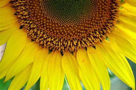 fresh petals sunflower diseases and pests description uses propagation