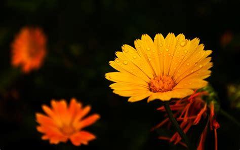 Black And Orange Flower Wallpaper by Water Drops On Orange Flowers Wallpaper Other