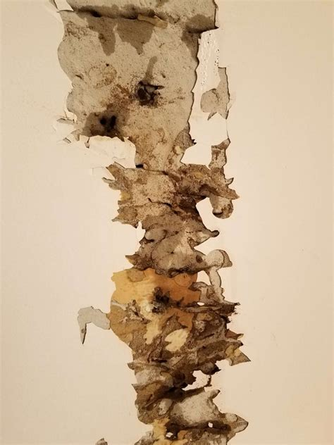signs  termite colonies   home drywood