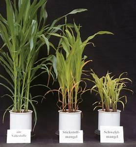 Stickstoffmangel Bei Pflanzen : k s kali gmbh maize n ~ Lizthompson.info Haus und Dekorationen