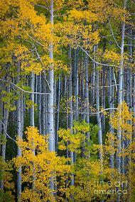 Colorado Aspen Trees Fall Color