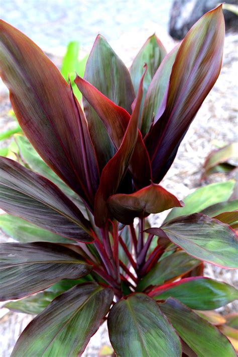 Cordyline fruticosa 'Rubra'