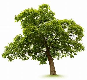 Bäume Schneiden Wann : trompetenbaum schneiden wann ist der beste zeitpunkt ~ Lizthompson.info Haus und Dekorationen