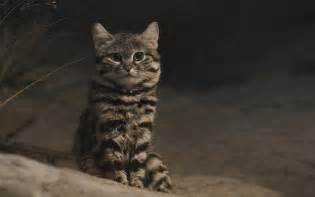 black footed cat black footed cat flickr photo
