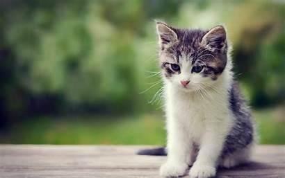 Kittens Wallpapers Kitten