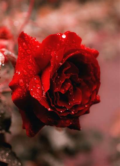 Rose Wallpapers Unsplash Hq