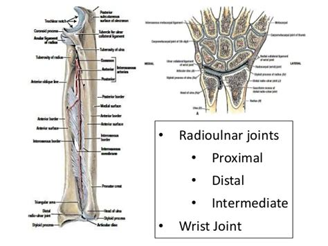 Wrist And Radioulnar Joints