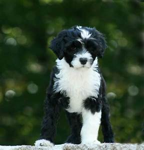 209 best images about Hypoallergenic Dog Breeds on ...