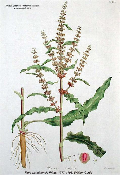 bureau direct flora of wisconsin rumex crispus
