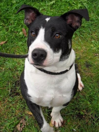Bobby  Year Old Male Staffordshire Bull Terrier Cross Collie Dog For Adoption