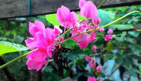 panduan menanam merawat bunga air mata pengantin