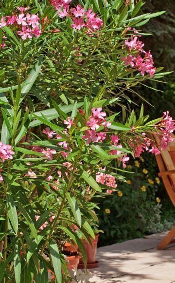 oleander ähnliche pflanzen oleander schildl 228 use schildl 228 use blumen pflanzen und blumengarten