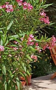 Oleander Im Winter : oleander schildl use pinterest garten pflanzen und garten ideen ~ Orissabook.com Haus und Dekorationen