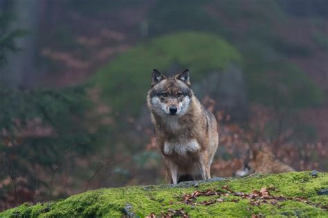 New wolf order, released 20 april 2019 1. Chernobyl Wolves Could Be Spreading Mutations into Europe