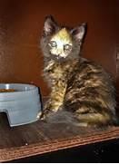 World   s most extraordinary torbie cat  Torbie Cat